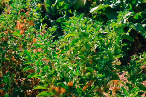 Ashwaghanda is a shrub with oval leaves and yellow flowers